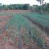 A Sanganigwa in arrivo pomodori, cipolle e melanzane e altro ancora