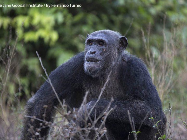 Aggiornamenti da Tchimpounga: B.A., piccolo scimpanzè in regalo diventa un maschio adulto libero