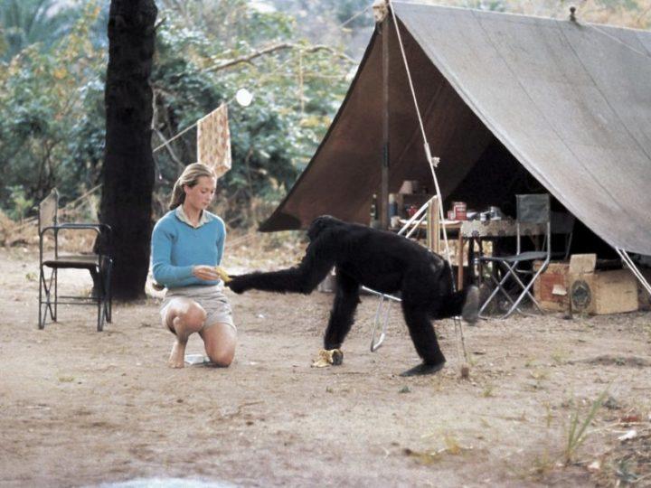 """Jane Goodall e """"Scimmie come noi – Conoscere per Salvare"""""""