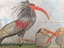 Il bracconaggio italiano esiste: ucciso un ibis eremita!