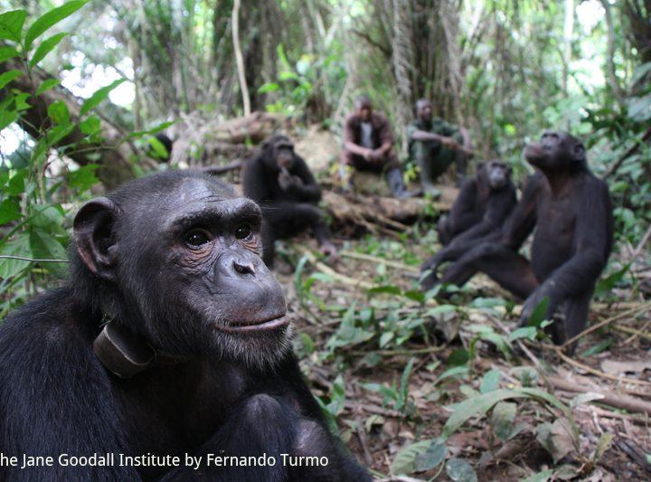 Aggiornamenti da Tchimpounga: libero l'ultimo gruppo di scimpanzé