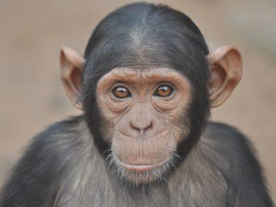RAMBO è al SICURO! storia del piccolo scimpanzè
