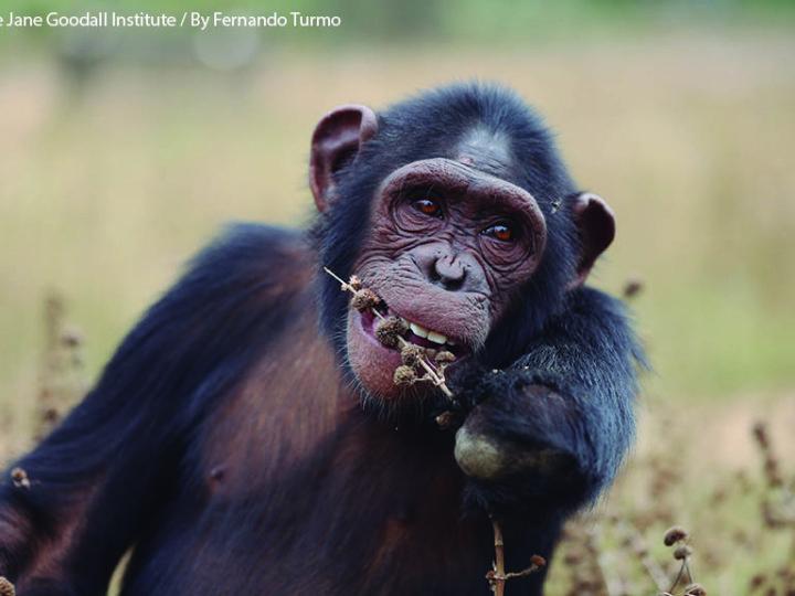 Aggiornamenti da Tchimpounga: Anzac, scimpanzè femmina dalla brillante personalità