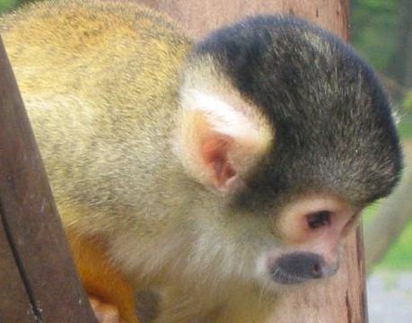 Jane Goodall sull'uso delle scimmie nella ricerca: bloccati i test sulle scimmie scoiattolo