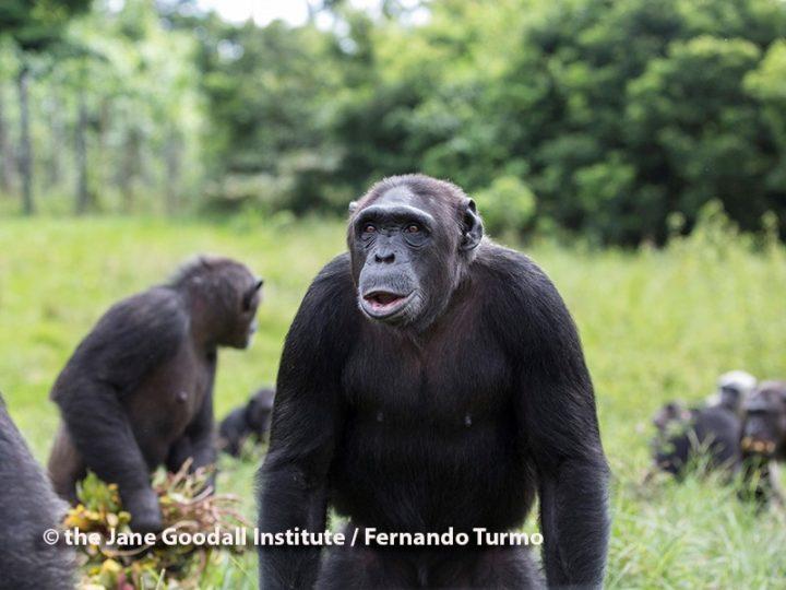 Kiki, una femmina in gamba, scimpanzé del mese a Tchimpounga
