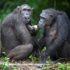 Covid19: si proteggono le grandi scimmie con la chiusura dei grandi parchi nazionali