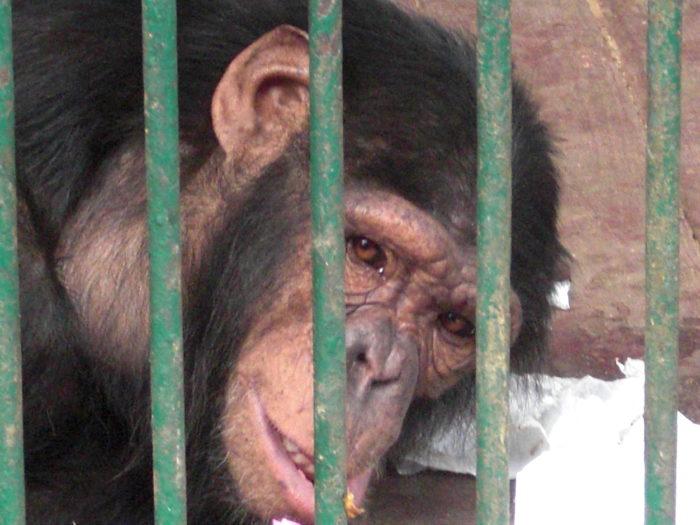 #4EverWild – I numeri del traffico illegale delle grandi scimmie