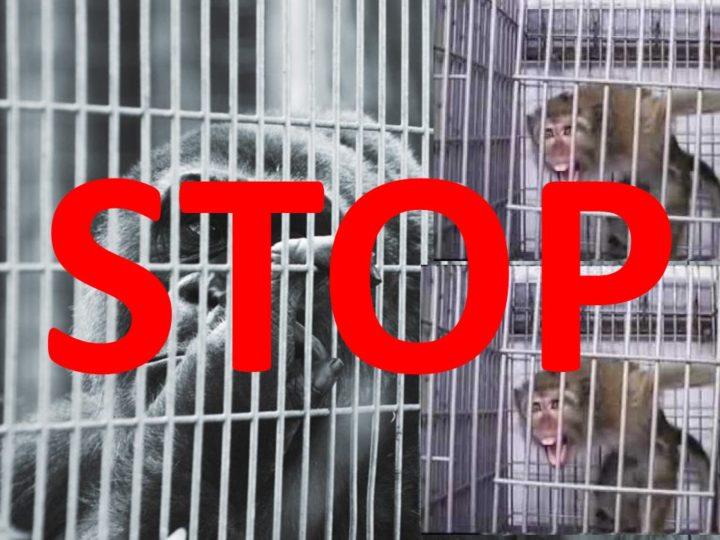 Sperimentazione sui primati: ma quanto davvero si investe nelle alternative?