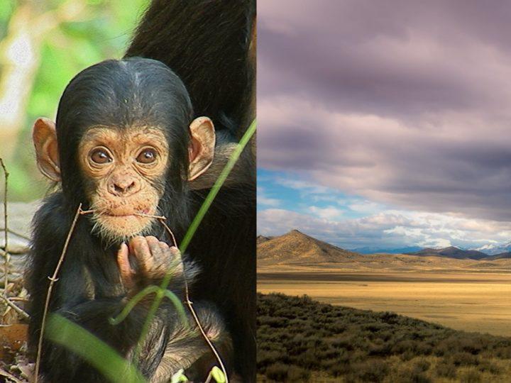 Quale impatto dei Cambiamenti Climatici sugli Scimpanzé?