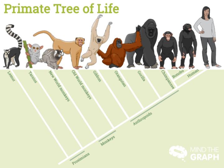 Scimpanzè, scimmie e esseri umani: qual è la differenza?