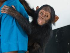 Ebelle, una piccola scimpanzé venduta dai bracconieri a una famiglia, è fortunata