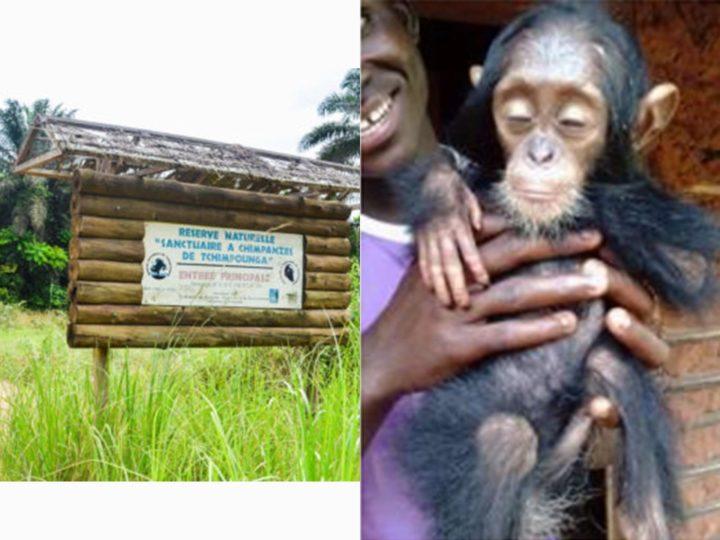 Perrine: nuovo arrivo a Tchimpounga di una piccola scimpanzé