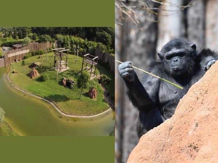 Scimpanzé in Italia: le conseguenze del covid-19