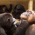 Integrare Dereck e Doli, scimpanzé traumatizzati, in un gruppo? Missione compiuta!