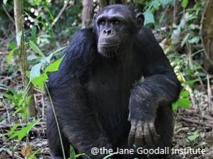 Lo scimpanzé Kimenga e le conseguenze del traffico illegale: cosa può voler dire integrarsi