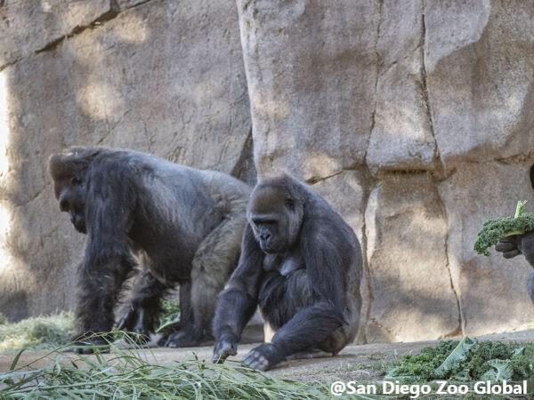 A proposito dei Gorilla del San Diego Zoo Safari Park positivi al test COVID-19